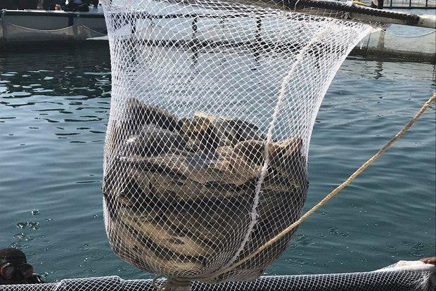 پیش بینی تولید 6300 تن ماهی در همدان